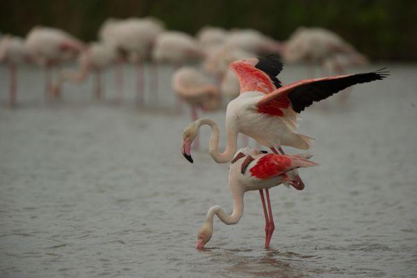 flamingo-greater-flamingo-phoenicopterus-ruber-2-20141219-1421580661A8F36903-DE48-1A37-4FE0-30220A9901CD.jpg
