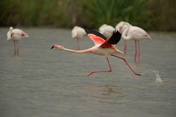 flamingo-greater-flamingo-phoenicopterus-ruber-4-20141219-17051192915F942DA5-FCB5-AD69-92FA-B6D719A95FC3.jpg