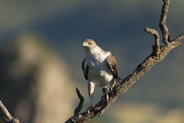 havikarend-bonellis-eagle-hieraaetus-fasciatus-1-20141219-1933474025A295E61D-D6D3-E3BA-666C-CEE48AB613DE.jpg
