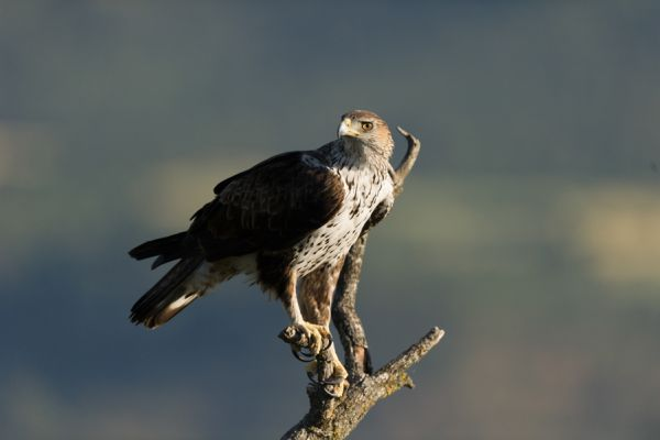 havikarend-bonellis-eagle-hieraaetus-fasciatus-20141219-1890025895E7CD5AF7-BE4F-7C9A-8278-615FFF4CE905.jpg