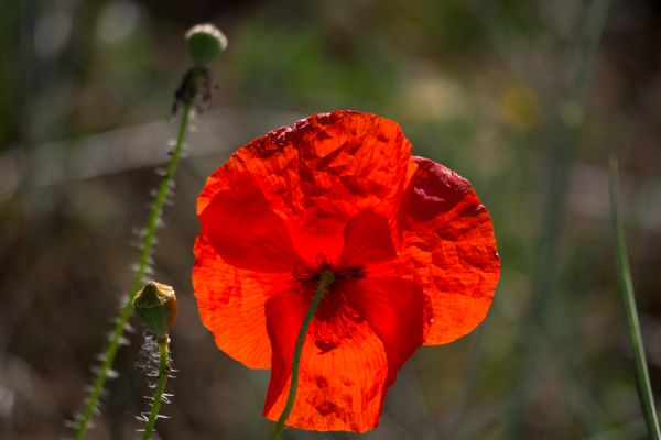 klaproos-poppy-papaver-rhoeas-20141219-2033447682EBA0F522-43BD-CEAB-0CCF-5FA942E6FD6F.jpg