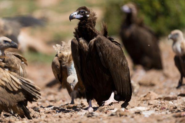 monniksgier-monk-vulture-aegypius-monachus-1-20141219-18549522576D2891E0-2693-6455-FB4E-C068DD7FD13D.jpg