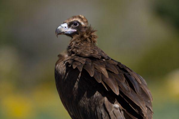 monniksgier-monk-vulture-aegypius-monachus-20141219-14651499526A257B77-AE49-7174-A00F-C1987CF935B3.jpg