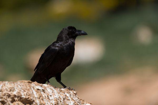 raaf-common-raven-corvus-corax-20141219-1825472148B2DE3A92-C8CD-0D6D-05CE-948E83D87C5D.jpg