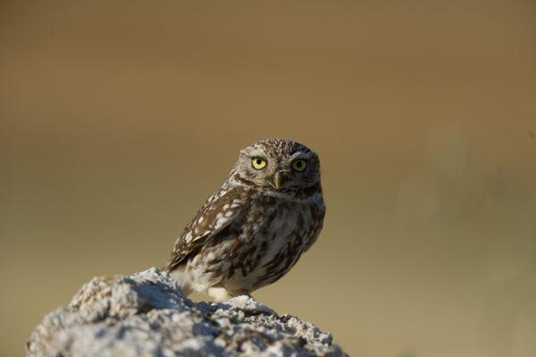 steenuil-little-owl-athene-noctua-20141219-1184313268232DDE6C-8DBE-3C9D-A456-2717C98B6176.jpg