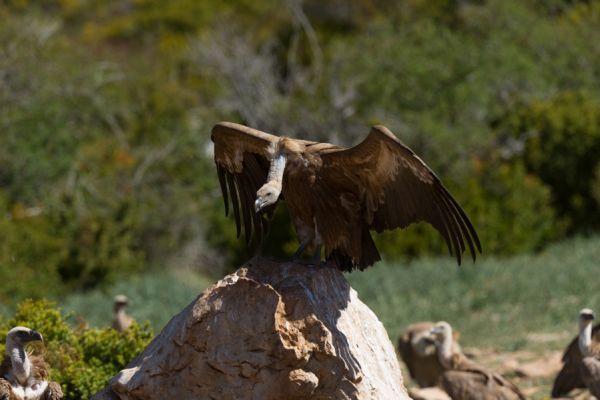 vale-gier-griffon-vulture-gyps-fulvus-1-20141219-18455513736FC0B602-49FF-E911-CF1E-B80AD9BD26FF.jpg