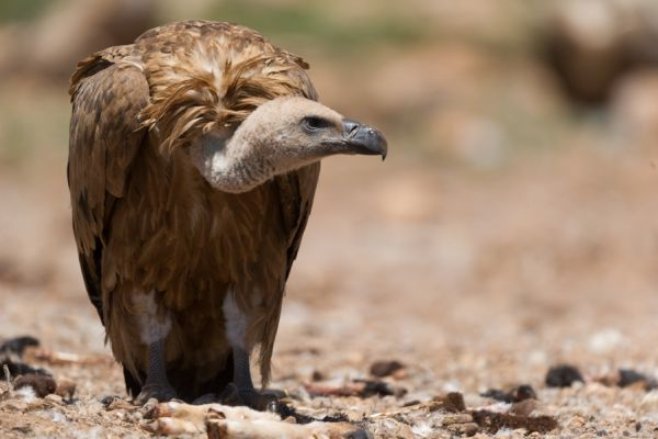 vale-gier-griffon-vulture-gyps-fulvus-3-20141219-191107809335FAFC87-FBBF-156A-DAB2-4911B9AE401C.jpg