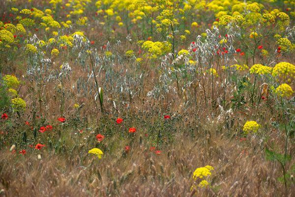 bloemenveld-field-of-floers-blumenfeld-mdhAD368D3F-1D97-E99B-7C7A-118E23CF9C2E.jpg