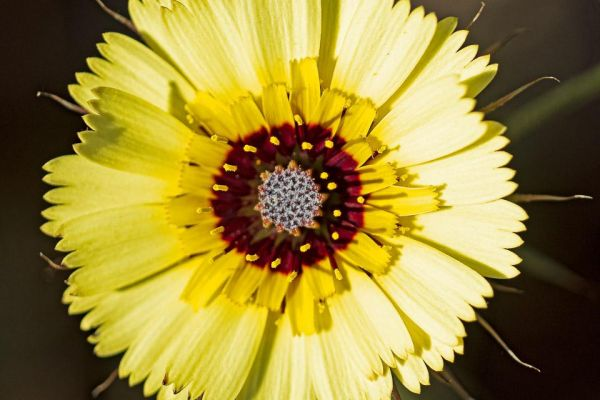 christusanjelier-european-umbrella-milkwort-bartpippau-tolpis-barbata-mdhC497C82C-9988-5839-8FAC-804E71B69494.jpg