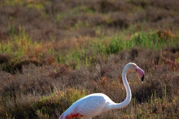 flamingo-greater-flamingo-rosaflamingo-phoenicopterus-ruber-mdh4D7DC294-4B26-B07C-2502-55ADBFFB012D.jpg