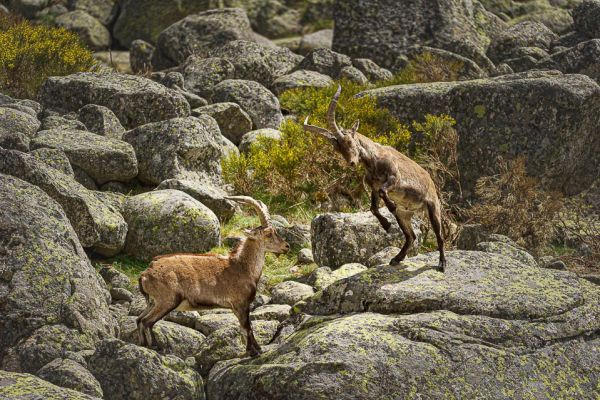 iberische-steenbok-iberian-ibex-iberiensteinbock-capra-pyrenaica-fight37D44125B-3161-18A1-A81E-28AF5756D544.jpg