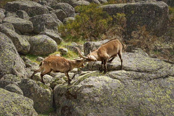 iberische-steenbok-iberian-ibex-iberiensteinbock-capra-pyrenaica-fightE7462B95-48CC-2306-4B47-56F598B5AB98.jpg