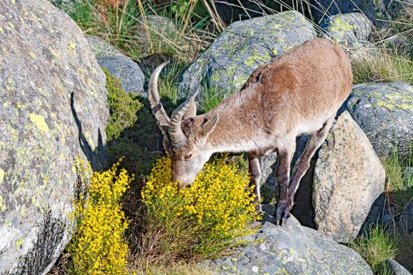 iberische-steenbok-iberian-ibex-iberiensteinbock-capra-pyrenaica2FE844243-0443-83F9-784A-2ABDA4A673AD.jpg