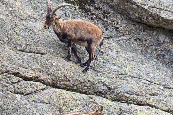 iberische-steenbok-iberian-ibex-iberiensteinbock-capra-pyrenaica7-mdh6608112E-EE78-2907-0569-BF32EE9945BA.jpg