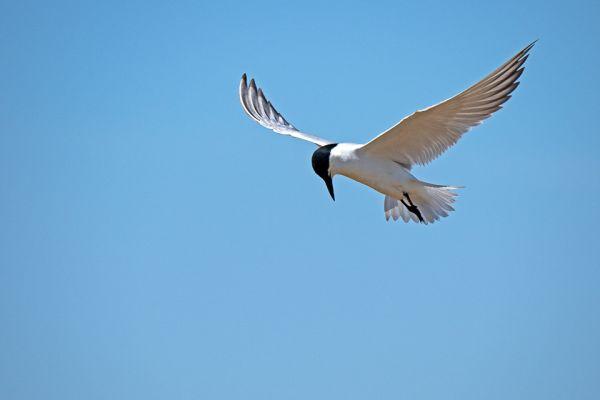 lachstern-gull-billed-tern-lachseeschwalbe-gelochelidon-nilotica1-mdhD2D4306F-2339-3075-BE72-3D2BCCA38CB8.jpg