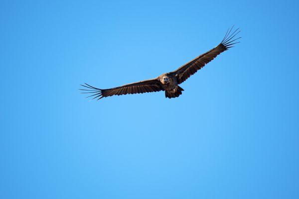 monniksgier-monk-vulture-moenchsgeier-aegypius-monachus-mdh84F6808F-B155-785D-71F1-1260332A6D25.jpg