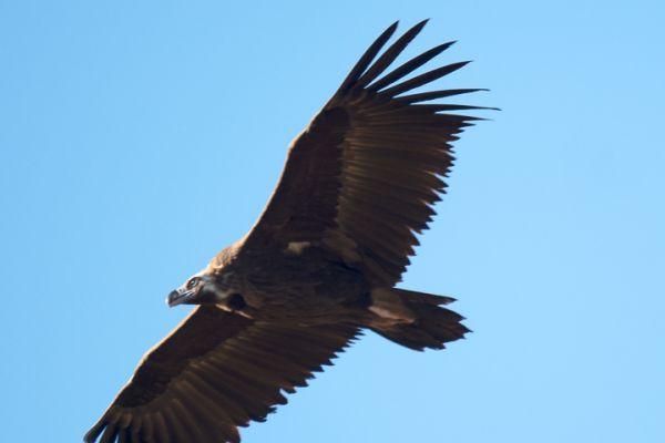 monniksgier-monk-vulture-moenchsgeier-aegypius-monachus1-mdhAC51084D-3B89-B6F8-679C-2B0134DA6906.jpg
