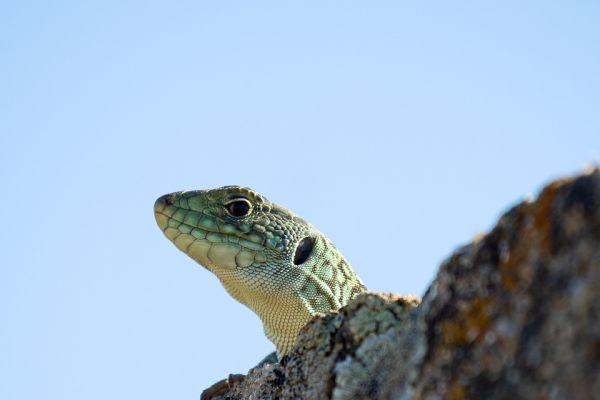 parelhagendis-jewelled-lizard-perleidechse-timon-lepidus2-mdh500C09A2-A517-07FE-86FE-81CA0AA83E5B.jpg