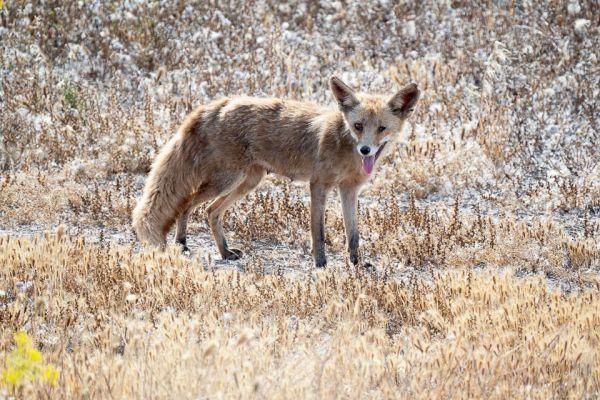 rode-vos-red-fox-rotfuchs-vulpes-vulpes1-mdh7726083A-6178-B159-4C38-62EDB16B57FC.jpg