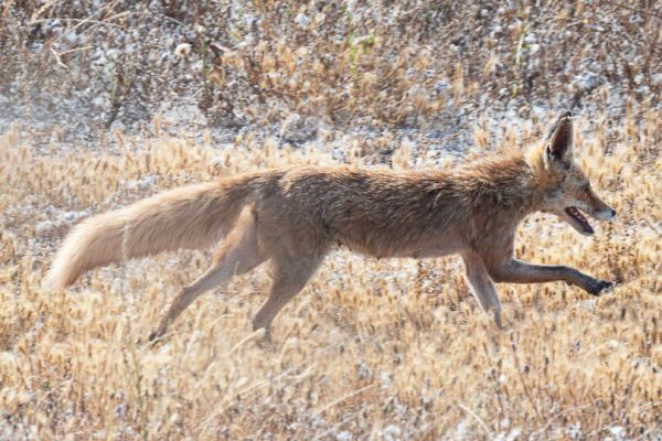 rode-vos-red-fox-rotfuchs-vulpes-vulpes2-mdh5C217529-FAE7-A9D4-BA1E-6E361F436EE0.jpg