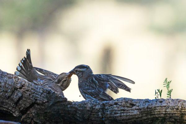 rotsmus-rock-sparrow-steinsperling-petronia-petronia1-mdh4DA07B24-C815-B685-88A4-4F537BFA3284.jpg