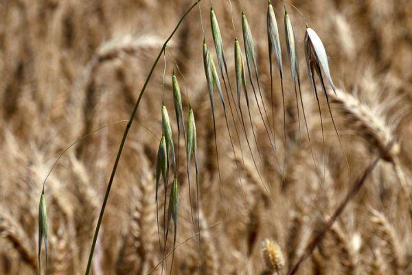 wilde-haver-wild-oat-taube-hafer-avena-sterilis-mdh6553F1C9-7C6C-A2D4-7158-5C69C9440B3E.jpg