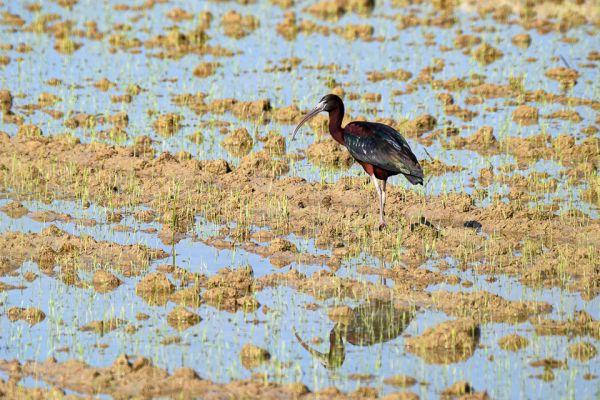 zwarte-ibis-glossy-ibis-sichler-plegadis-falcinellus-mdhA294D8FE-2E2D-0F54-BA87-1B19065748F2.jpg