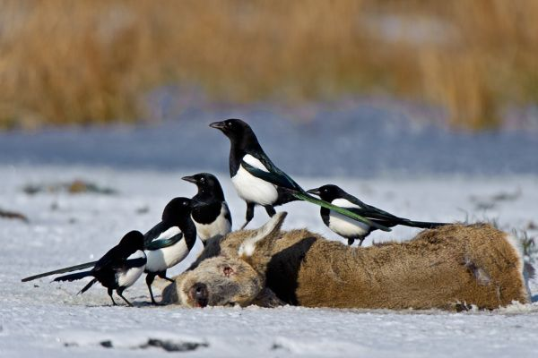 ekster-magpie-pica-pica-20150112-19621000343C758084-7397-A81A-298A-0BF48C1DDB89.jpg