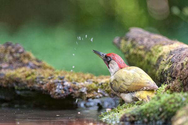 groene-specht-green-woodpecker-picus-viridis-20150112-20219589303EBD5BB7-22C3-529F-356E-1E1D5BDEBE30.jpg