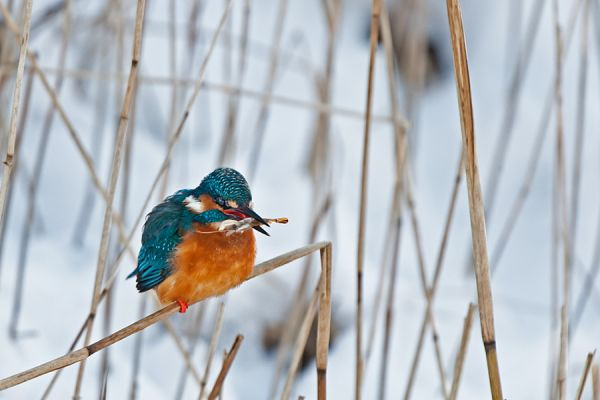 ijsvogel-common-kingfisher-alcedo-atthis-20150112-1545684039AB3F7F41-DCE7-9F42-823B-4BAE1D368EFC.jpg