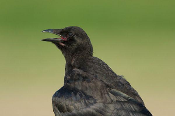 kraai-carrion-crow-corvus-corone-20150112-1571970677C85DF129-D857-4BA9-D3A4-03B6C5AAECED.jpg