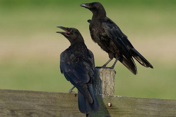kraai-carrion-crow-corvus-corone-20150112-2003890936BCBAE5B5-5F82-9E13-EA9C-F951BDE8AA13.jpg
