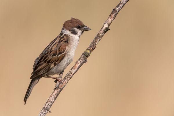 ringmus-tree-sparrow-passer-montanus-20150112-17935938805B586870-4926-BEB2-70A2-45A9FA5DFDA0.jpg