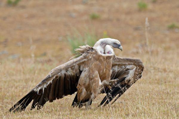 vale-gier-griffon-vulture-gyps-fulvus-20150112-118930519175B47F18-2E75-631D-1901-287DE389DA25.jpg