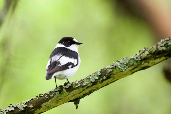 withalsvliegenvanger-collared-flycatcher-fidecula-albicollis-male-20150112-11661679413E335FC0-4663-BBAC-DDF0-7A514E869BE0.jpg