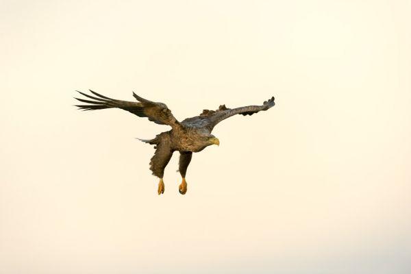 zeearend-white-tailed-eagle-haliaeetus-albicilla-20150112-1457392048C300C789-BBA0-24AB-9531-1A43178E9B19.jpg