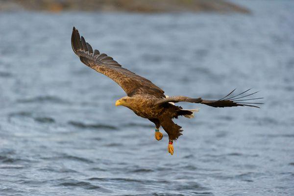 zeearend-white-tailed-eagle-haliaeetus-albicilla-in-flight-20150112-12901799141838100B-238A-0AD6-5883-7C046AF18910.jpg