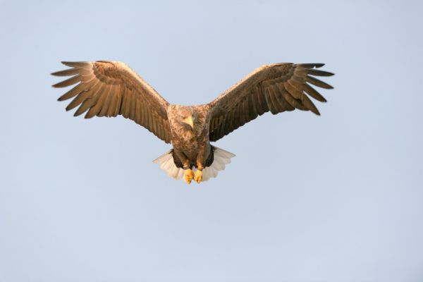 zeearend-white-tailed-eagle-haliaeetus-albicilla-praying-20150112-1668928452C201267D-E70E-5A95-51C5-8277145DCA31.jpg