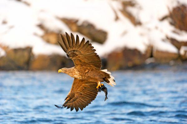 zeearend-white-tailed-eagle-haliaeetus-albicilla-with-catch-20150112-12514001040A95C212-6CAA-2857-460A-46DCE84576C1.jpg