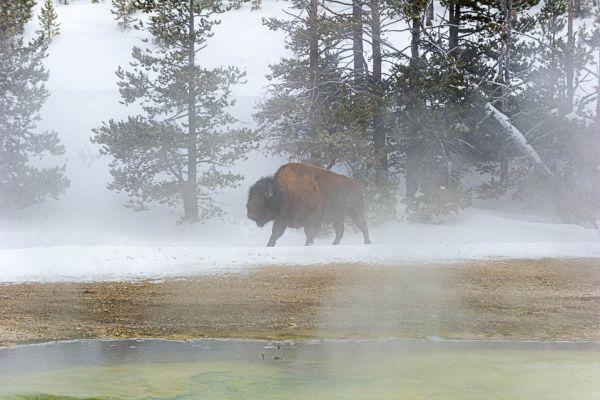 bizon-bison-at-exelsior-geyser439F3A97-60F9-EE6F-0737-1B64A1904DED.jpg