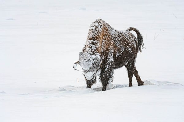 bizon-bison-bisons-bison-bison30A37979-F497-FA3F-0CD2-0DF54BC65B3F.jpg