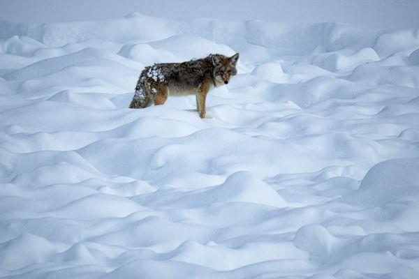 coyote-of-prairiewolf-coyote-kojote-canis-latrans-md0F035EFA-9B3C-C95B-B6F4-D517AA1C1453.jpg