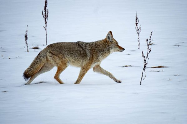 coyote-of-prairiewolf-coyote-kojote-canis-latrans-md17743926-26C9-935B-B335-EB08ECDEED93.jpg