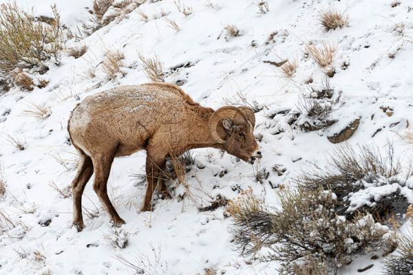 dikhoornschaap-bighorn-sheep-dickhornschaf-ovis-canadensis653FEA5C-7CD9-B2A1-C133-F650018DA7B7.jpg