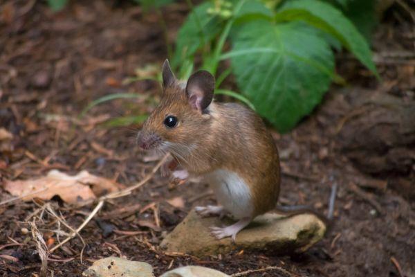 bosmuis-wood-mouse-apodemus-sylvaticus-20150625-120756285434C0C51B-24E9-67CE-B6E0-BA8D71F3D540.jpg