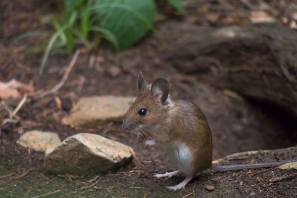 bosmuis-wood-mouse-apodemus-sylvaticus-20150625-145769867344DD9515-70E9-67FB-81D9-4CF4D7D177A1.jpg