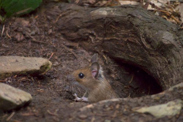 bosmuis-wood-mouse-apodemus-sylvaticus-20150625-1796588798C8237752-FE42-03DE-D823-78AC090E2756.jpg
