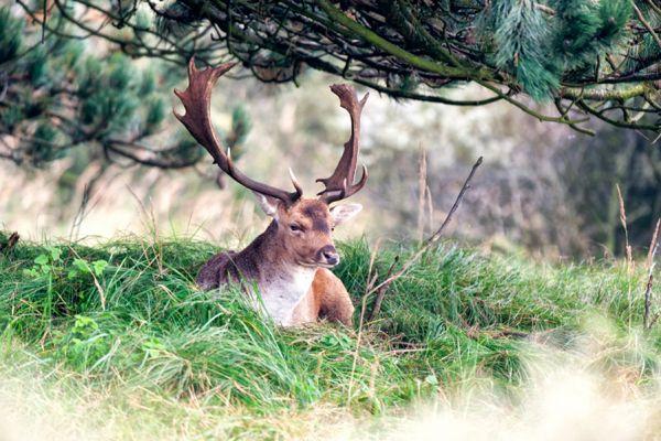 damhert-fallow-deer-dama-dama-20141220-141766630677D4A8CE-B690-25FB-C007-8504DAC5F221.jpg