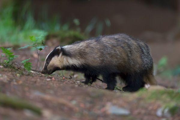 das-european-badger-meles-meles-female-20150625-174596775946D7FBF6-E3E6-AB0B-47AE-1DC94F1DEF27.jpg