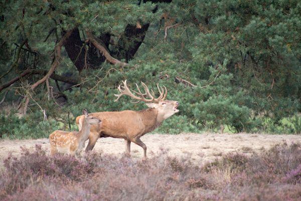 edelhert-red-deer-cervus-elaphus8-20141220-12077543117F496CDF-6828-0A4C-6124-3625EBAB3477.jpg